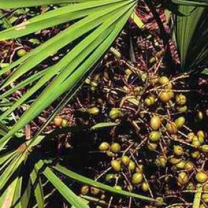 Saw Palmetto Berry Extract 4:1 TLC