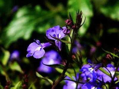 Scutellaria Barbata Extract 10:1 TLC