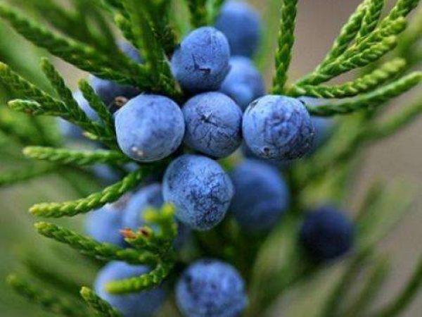 Juniper Berry Extract 20:1