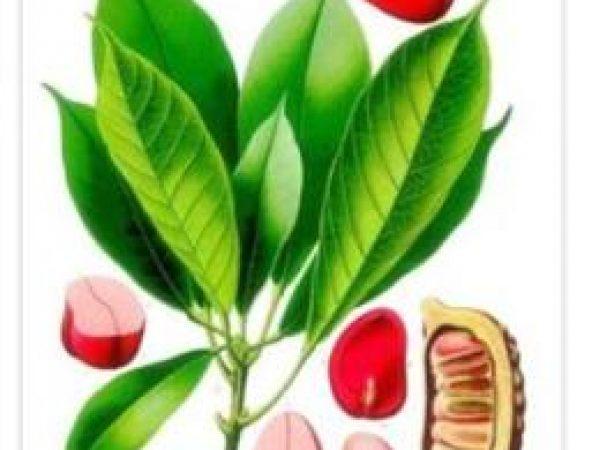 Kola Nut Extract 50% Caffeine