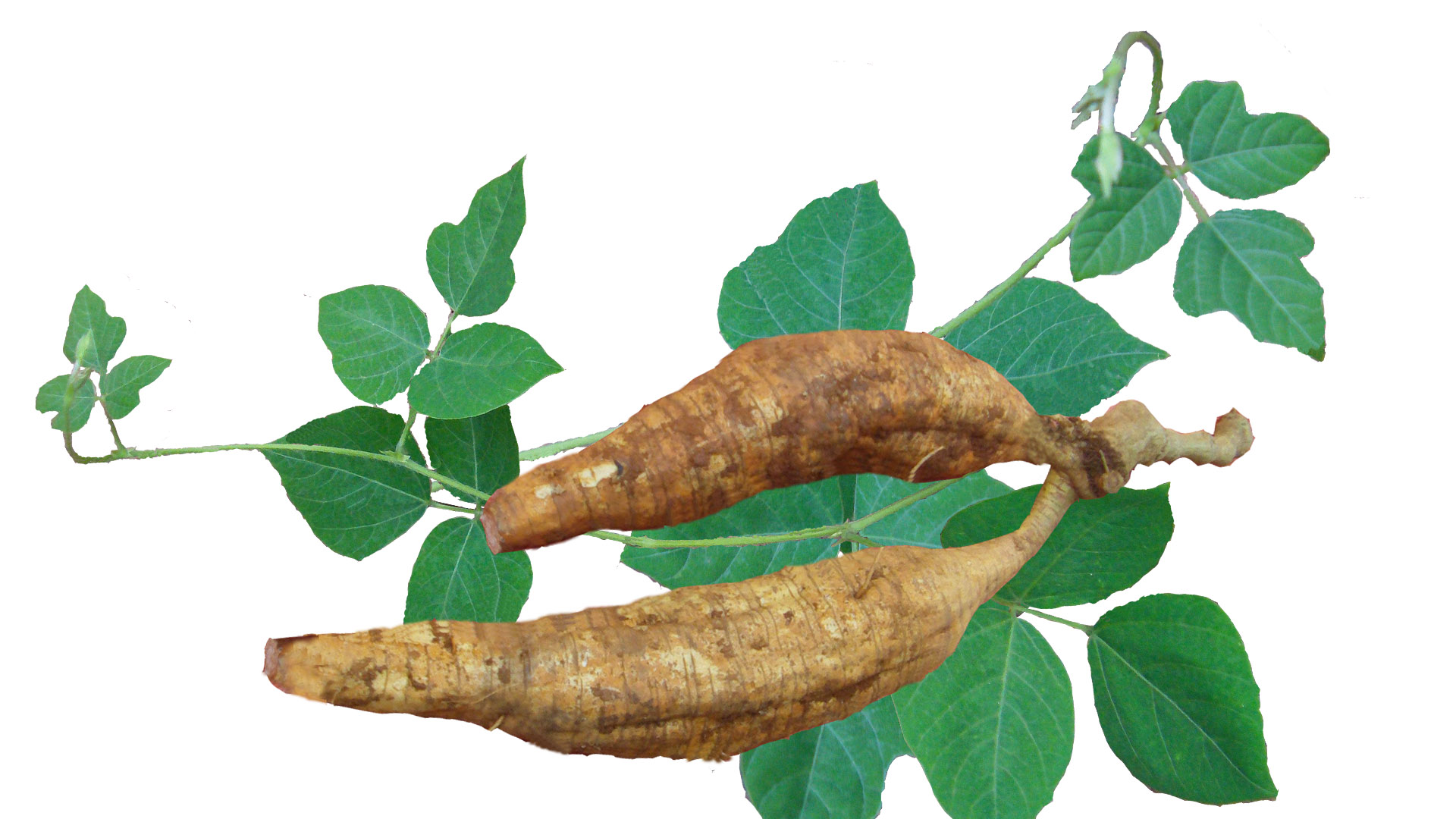 Kudzu Root Extract Puerarin 99% HPLC