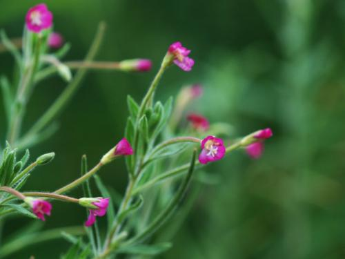 Small Flower Willow Herb Extract 4:1 TLC