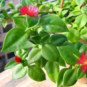 Andrographis Paniculata Extract Andrographolide 10% HPLC