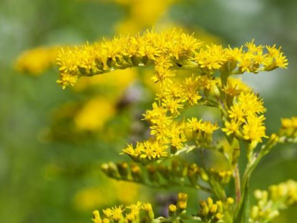 Goldenrod Extract 10:1 TLC