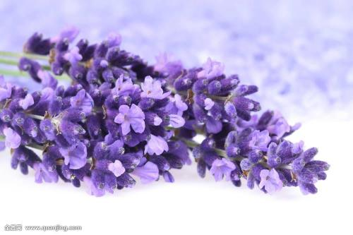 Lavender Extract 4:1 TLC