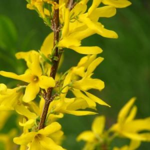 Forsythia Extract 10:1 TLC
