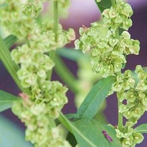 Yellow Dock Extract 4:1 TLC (Rumex acetosella)
