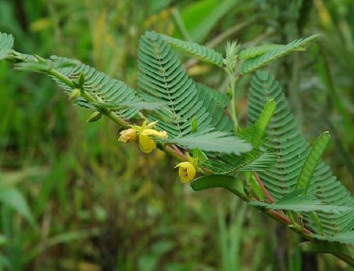 Cassia Nomame Extract Total Flavanol 8% UV