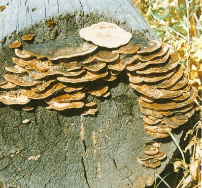 Fomitopsis Extract Polysaccharides 30% UV (Phellinus Igniarius Extract)