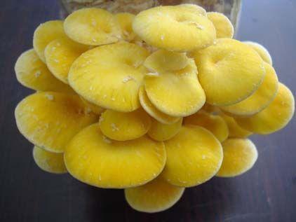 Yu Wild Mushroom Extract Polysaccharides 30% UV (Pleurotus Ostreatus Extract )
