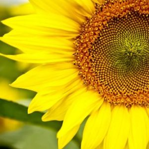 Sunflower Extract 4:1 TLC