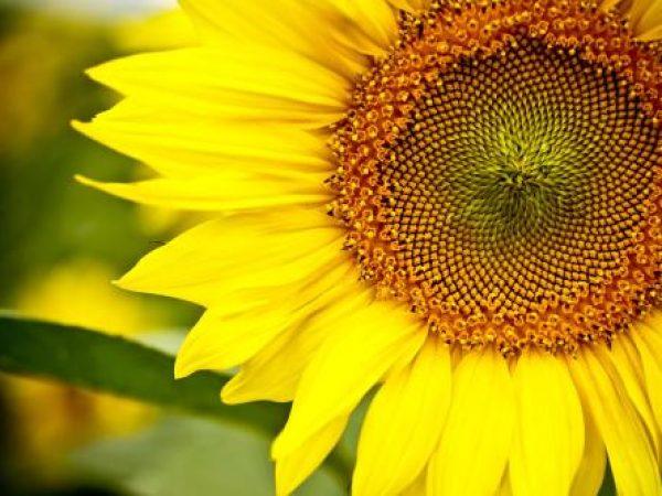 Sunflower Extract 4:1 TLC