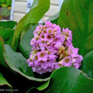 Bergenia Ligulata Extract 4:1 TLC