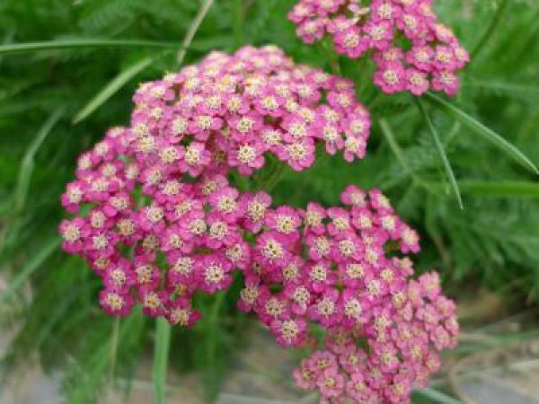 Yarrow Extract 10:1 TLC