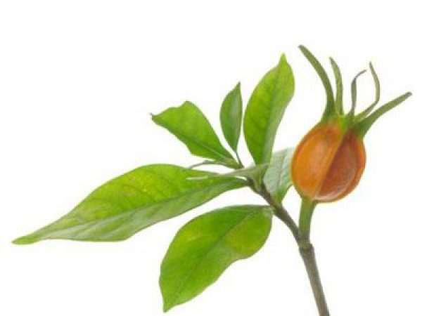 Gardenia Jasminoides Extract 4:1 TLC
