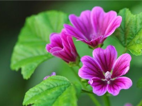 Mallow Extract 4:1 TLC