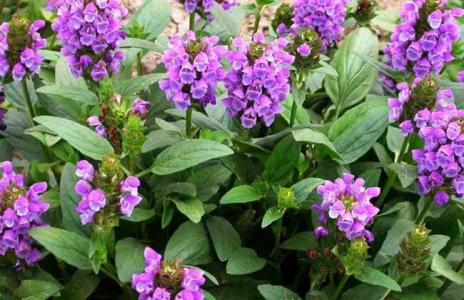 Prunella Vulgaris Extract 10:1 TLC