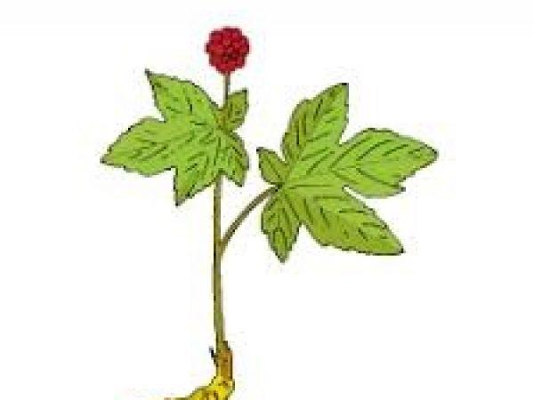 Goldenseal Root Extract Berberine 5% HPLC
