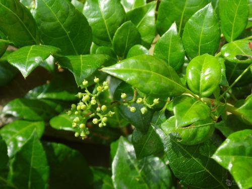 Vine Tea Extract Dihydromyricetin 98% HPLC